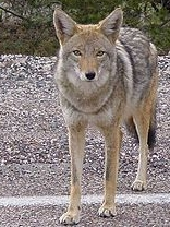 Coyote on Street